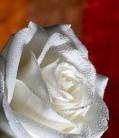 rose cover dark.jpg
